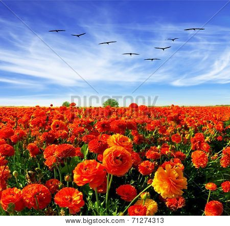 Spring in Israel. Magnificent field of bright red buttercups. Flies over a field flock of cranes.