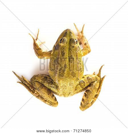 Green Frog Isolated On A White Background