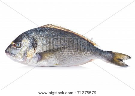 Gilt-head Sea Bream Fish Isolated