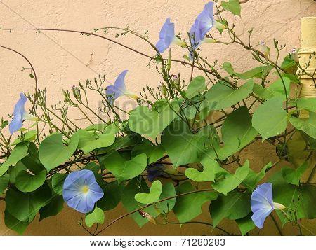 Pharbitis purpurea, Ipomea purpurea