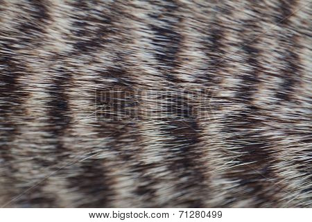 Fur Of Meerkat