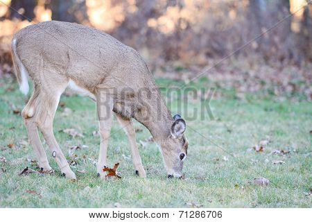 Deer in Shenandoah National Park - Virginia, United States of America