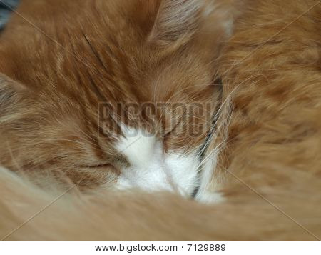 Sleeping Tiger - Happy Red Cat Asleep