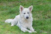 image of swiss shepherd dog  - Portrait of beautiful dog  - JPG