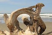 foto of driftwood  - Interesting root wad driftwood on the beach near Bandon Oregon - JPG