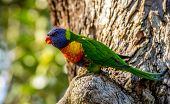 picture of lorikeets  - Rainbow Lorikeet from the Central coast of Australia - JPG