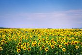 stock photo of sunflower  - sunflower with blue sky and beautiful sun  - JPG