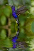 picture of hummingbirds  - Hummingbird hovering over water with beautiful reflection - JPG