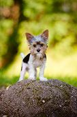foto of yorkie  - small biewer yorkie puppy outdoors in summer - JPG