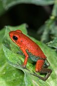 foto of poison dart frogs  - Poison dart frog Dendrobates granuliferus