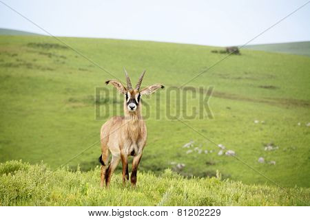 Roan Antelope on the Hills of Nyika Plateau, Malawi, Africa