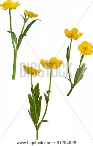 illustration with yellow buttercup flowers isolated on white background