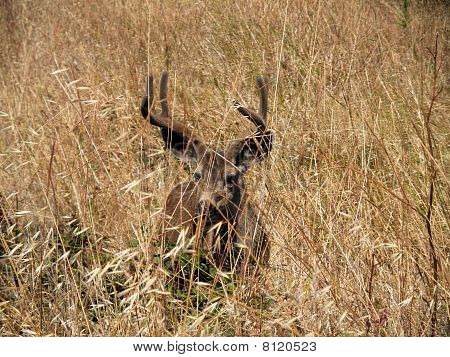 Black-tailed Deer Hides In Dry Grassy Field
