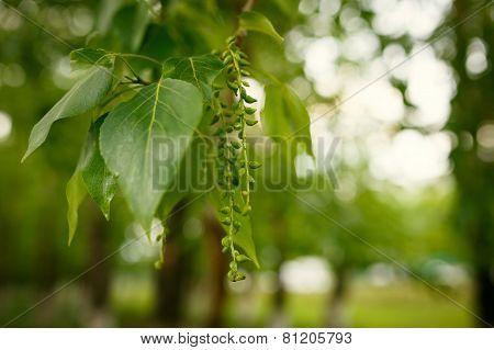 buds poplar