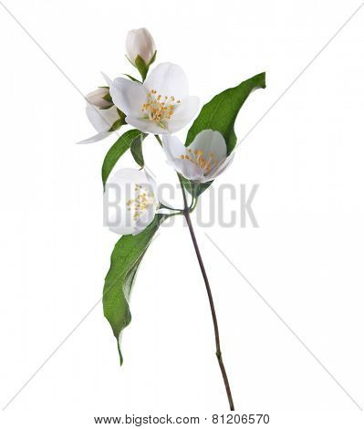 Jasmine flowers  isolated on white background