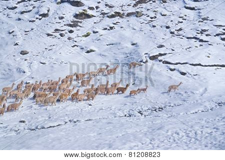 Herd Of Llamas In Andes