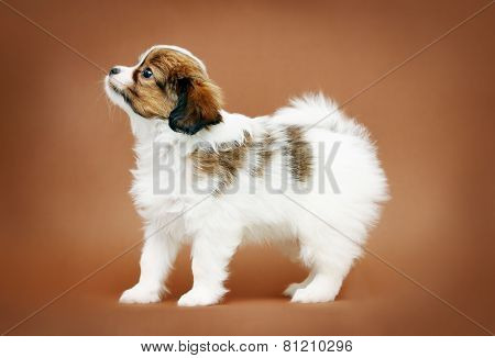 Puppy Papillon Standing In Profile