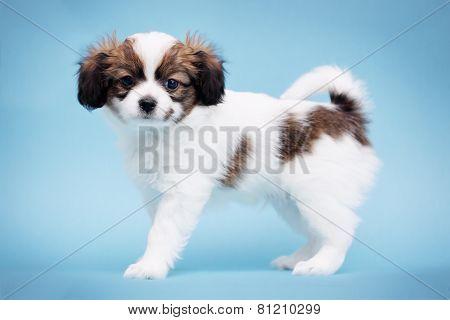 Little Puppy A Blue Background