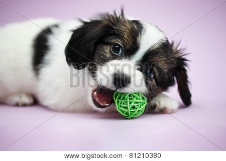 Puppy Papillon Biting Ball