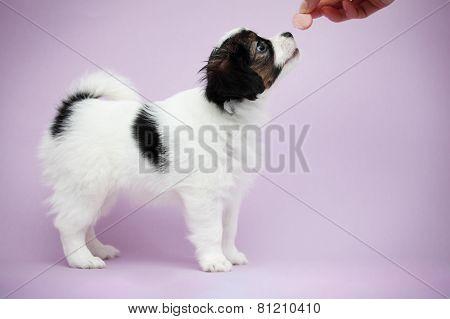 Hand Beckons Sausage Puppy