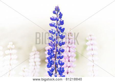 Blue And Purple Wild Lupin