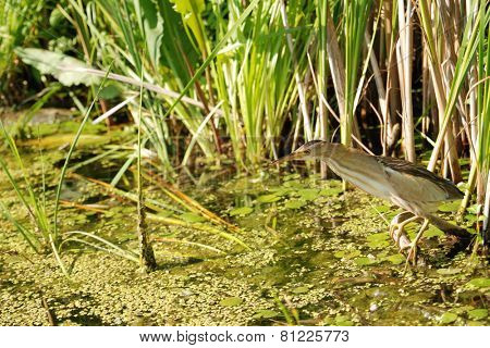 Little bittern hunts on a swamp