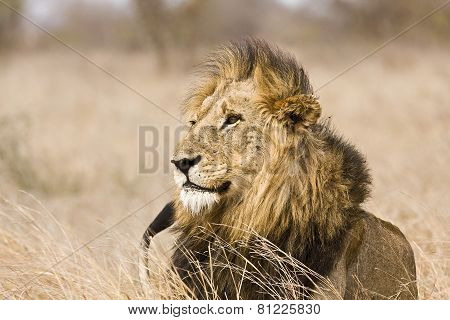 portrait of a wild male lion in the bush, Kruger, South Africa