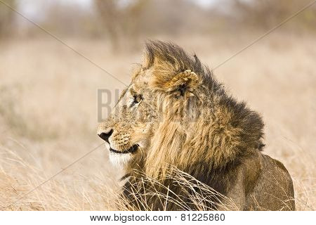 portrait of a wild male lion, Kruger, South Africa