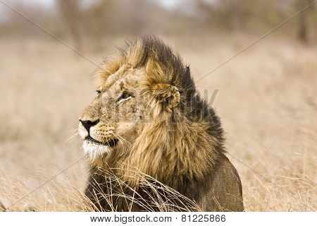 portrait of a wild male lion in the bush, Kruger