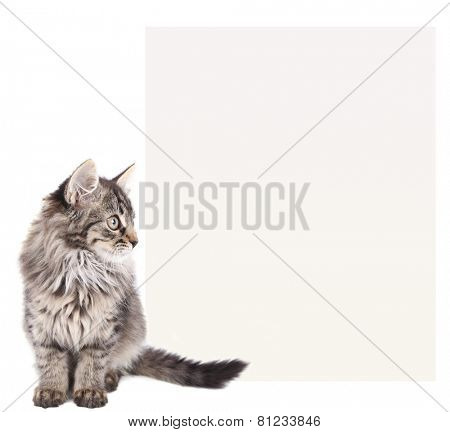 Little kitten with place for text isolated on white