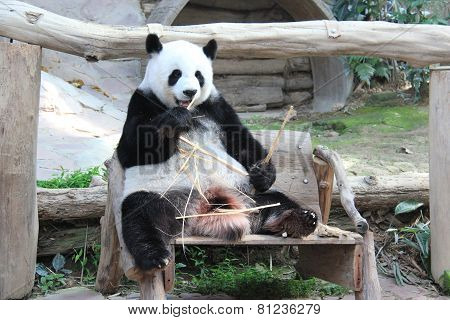 Giant Panda, Named Lin Hui, In Chiangmai Zoo, Thailand