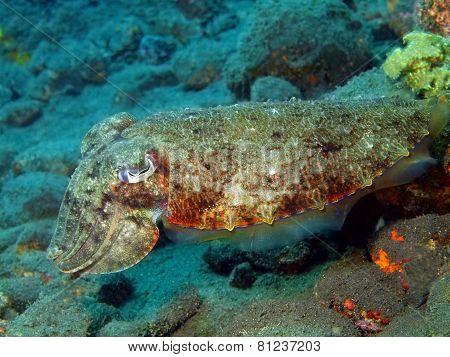 ?uttlefish
