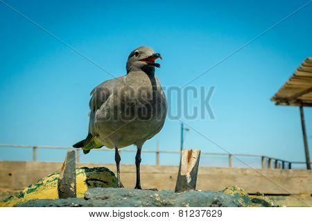 seagull in san cristobal galapagos islands