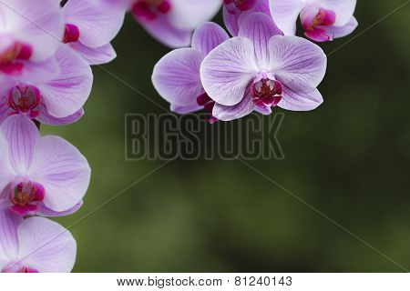 moth orchids in an asiatic garden