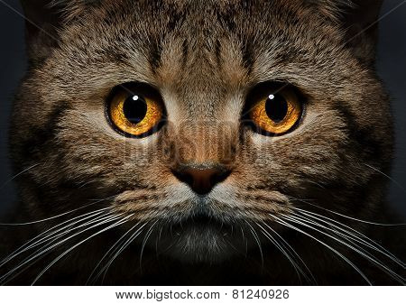 Portrait of Scottish Straight cat