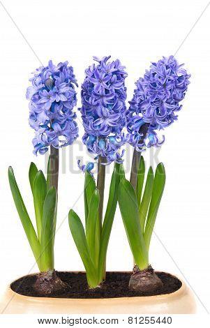 Blue Hyacinthes