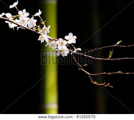A branch of cherry blossom and green bamboo and black dark background.