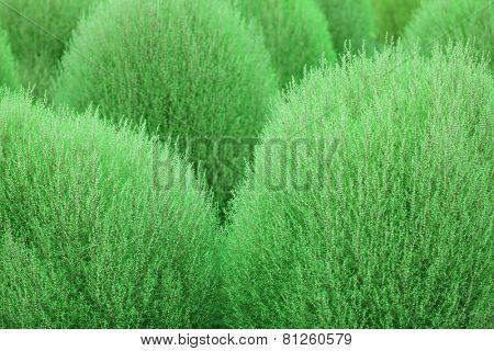 Kochia, (Kochia scoparia) or Bassia scoparia plant abstract. Focus is edges of the foreground Kochia.