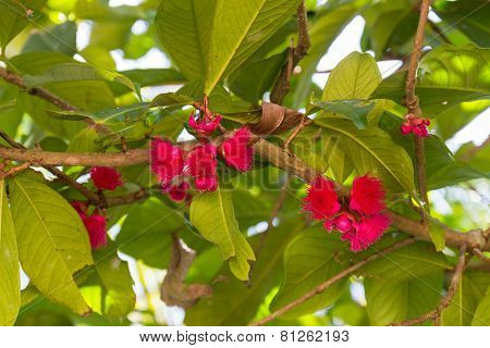 Pomerac Or Malay Apple Pink Flower