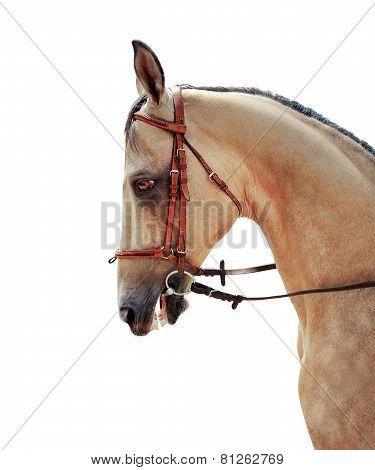 Akhal-Teke horse half-face