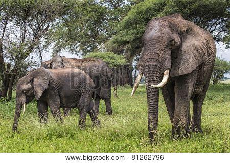 African Elephants Walking In Savannah In The Tarangire National Park, Tanzania