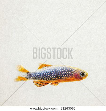 Danio Margaritatus. Aquarium Fish.