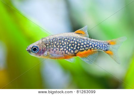 Danio Margaritatus Aquarium Fish. Galaxy Rasbora.