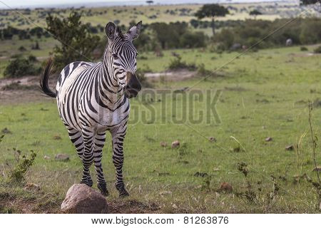 Zebra Portrait On African Savanna. Safari In Serengeti, Tanzania
