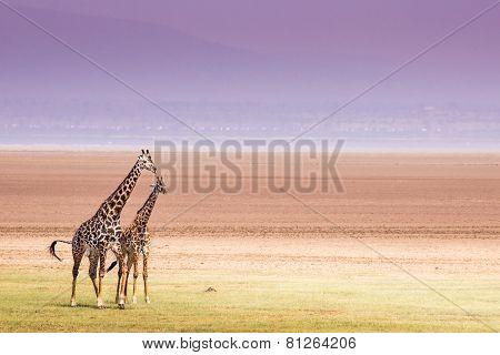 Giraffes In Lake Manyara National Park, Tanzania