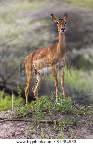 Young Female Impala Antelope, Tarangire National Park, Tanzania