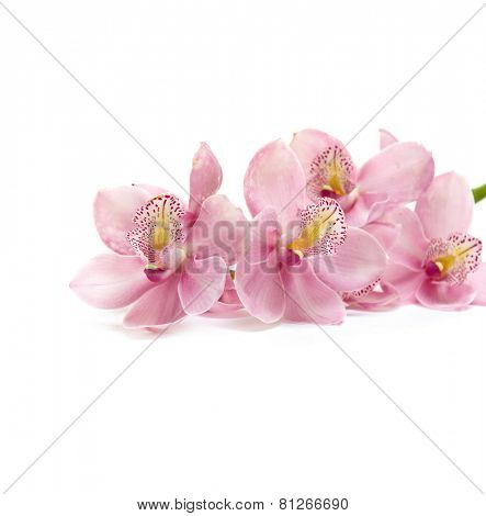 Pink branch orchid isolated