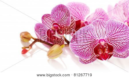 Pink Orchid Phalaenopsis.