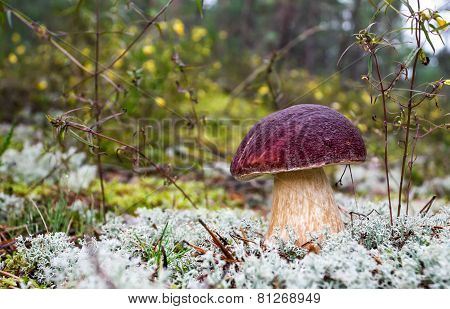 Forest Edible Mushroom In The Moss Closeup