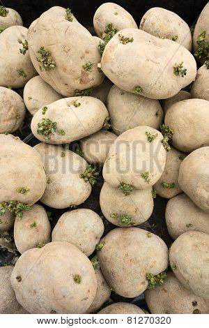 Pile Of Spud Potatoes